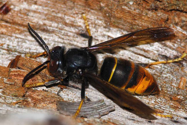 Controling the Asian hornet